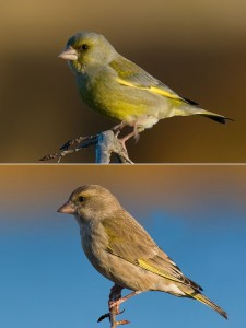 European_Greenfinch_male_female