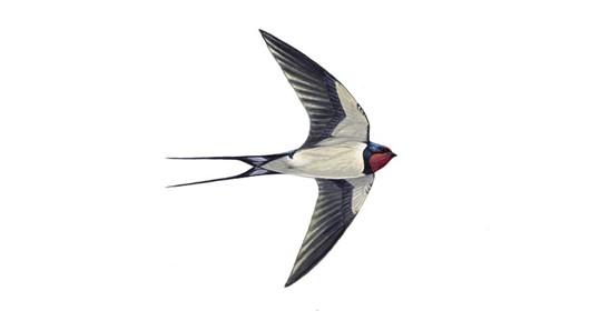 swallow_tcm9-18469